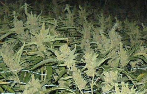 Koekelberg : découverte d'une vaste plantation de cannabis