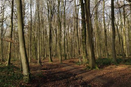 Les jonquilles protégées dans les bois de NivelleLes jonquilles protégées dans les bois de Nivelle