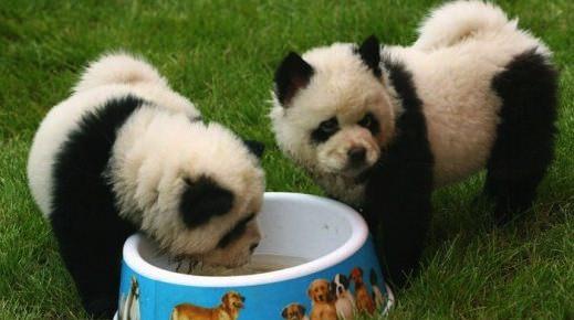 Les chiens-pandas : une nouvelle mode en chine