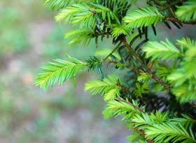 L'If une plante utile dans le traitement de certains cancers