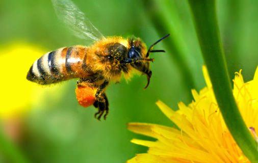 Nouveau pesticide, à base de venin d'araignées qui protège les abeilles