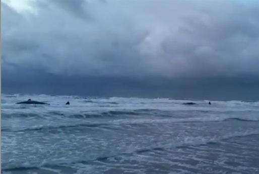 Les cinq cachalots échoués sur la plage de Texel sont morts