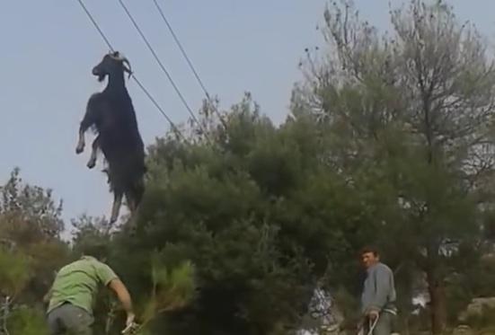 Sauvetage insolite d'une chèvre suspendue à un câble électrique sur la route